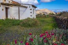 Traditionellt fördärva med röda blommor i La Oliva Fuerteventura Las Palmas Canary som öar smärtar Royaltyfri Fotografi