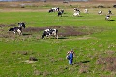 Traditionellt lantbruk - en flock av kor med en Herdsman Royaltyfri Fotografi
