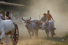 Traditionellt lopp för oxevagn Arkivfoton