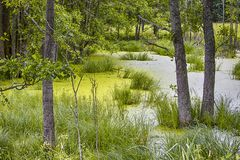Traditionellt stillsamt grönaktigt sankt område i skogen Arkivfoto