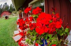 Tradycyjna finnish chałupa z kwiatami Zdjęcia Royalty Free