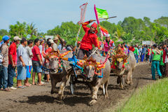 Tradycyjnego balijczyka wodny bizon ściga się Makepung w Negara fotografia stock