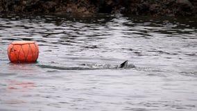 Tradycyjni nurkowie przy Jeju wyspą, także Dzwoniącą jako Haenyeo, Zbiera Shellfish w morzu zbiory wideo