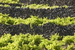 Tradycyjny Azores krajobraz z powulkanicznej skały winnicami w Pic obraz royalty free