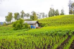 Tradycyjny cebuli gospodarstwo rolne Obraz Royalty Free