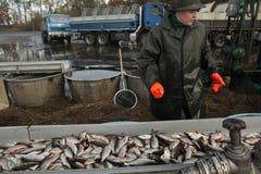 Tradycyjny jesieni masy połów w Południowej cyganerii, republika czech Fotografia Stock