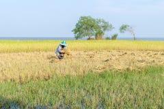 Tradycyjny Tajlandzki rolnik zbiera uprawy w ryżu polu Fotografia Stock