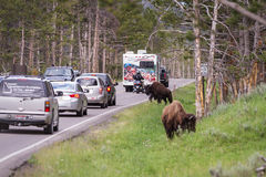 Traffic jam in yellowstone Stock Images