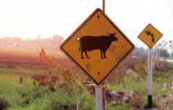 Traffic sign for beware the cow across the street in Thailand and out focus turn left sign. Traffic sign for beware the cow across the street in Thailand and royalty free stock images