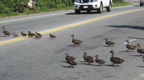 Traffic stops while ducks cross a major street in Nantucket Massachusetts. Ducks routinely cross the street in the mornings and evenings. Traffic stops and waits Royalty Free Stock Photo