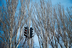 Trafficlight and poplars Stock Photo