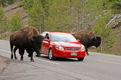 Traffico nella sosta nazionale del Yellowstone Fotografia Stock Libera da Diritti