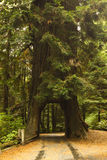 Traforo dell'albero del Redwood fotografia stock libera da diritti