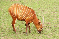 Tragelaphus eurycerus. The eastern or mountain bongo is only found in the wild in one remote region of central Kenya. Is classified by the IUCN Antelope Royalty Free Stock Photography