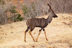 Tragelaphus Imberbis антилопы - сафари Кения Стоковая Фотография RF