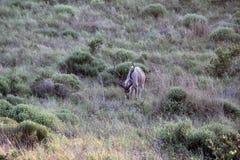 Tragelaphus strepsiceros Męski kudu Koedoe obrazy stock