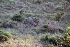 Tragelaphus strepsiceros Male Kudu Koedoe Royalty Free Stock Image