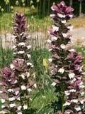 Tragen Sie ` s Hinterteile Acanthus hungaricus Anlage im Sommer Lizenzfreies Stockbild
