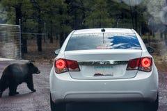 Tragen Sie und ein Auto in einem Safari-Park Bearizona Stockfotografie