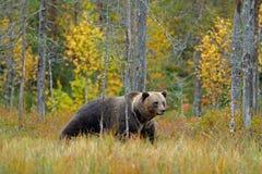 Tragen Sie versteckt in den gelben Waldherbstbäumen mit Bären Schöner Braunbär, der um See mit Fallfarben geht Gefährliches Tier stockfotos