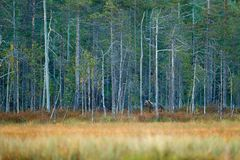Tragen Sie versteckt im Spätholz Wald der gelben Kiefer und der Birke mit Bären Schöner Braunbär, der um See mit Herbstfarben geh stockbilder