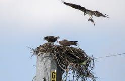 Tragende Fische des Fischadler-Nestes, See Oconee Georgia USA Stockbild