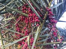 Tragende Früchte des zitronengelben Dattelpalmebaums Stockbild