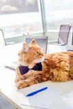 Tragende Schmetterlings-Bindung Ginger Cats, die auf der weißen Tabelle in seinem eigenen Büro liegt Lizenzfreie Stockbilder