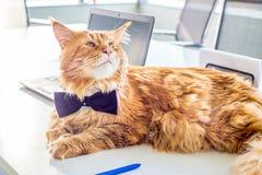 Tragende Schmetterlings-Bindung lustiger Geschäftsmann-Maine Coon Cats, die auf dem Tisch in seinem Büro unterzeichnet eine Verei Stockfotos