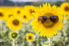 Tragende Sonnenbrille der Sonnenblume auf dem Gebiet Stockfoto