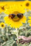 Tragende Sonnenbrille der Sonnenblume in der Hand Stockfoto