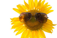 Tragende Sonnenbrille der Sonnenblume (Isolat) Lizenzfreie Stockfotografie