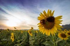 Tragende Sonnenbrille der Sonnenblume während des Sonnenuntergangs Stockfotos