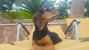 Tragende Sonnenbrille des Hundeporträts, die neugierig sich fühlt Ein lustiger Moment stock video