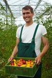 Tragende Tomaten des Landwirts Lizenzfreies Stockfoto