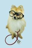 Tragender Gläser Pomeranian-Hund und ein Stethoskop Stockbild