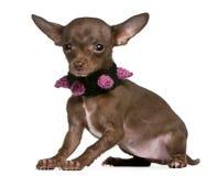Tragender Kragen der Chihuahua, 6 Monate alte, sitzend Stockfotografie