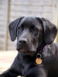 Tragender Kragen und Tag schwarzen Labrador-Hündchens Lizenzfreies Stockbild