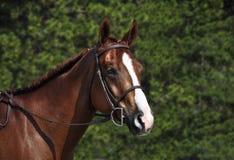 Tragender Zaum des englischen Pferdekopfs Lizenzfreies Stockbild