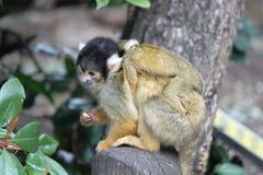 Tragendes Baby des Affe-Zoos, das einen Snack isst Stockbild