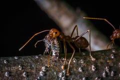 Tragendes Insekt der roten Ameise für essen Lizenzfreie Stockfotos