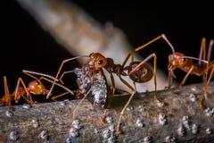 Tragendes Insekt der roten Ameise für essen Lizenzfreie Stockfotografie