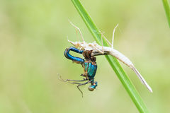 Tragic damselfly. The damselfly(Scientific name: Mnais mneme) died in eclosion Stock Photo