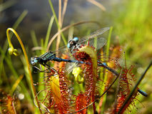 Tragic Love. A pair of damsel flies eaten by a carnivorous sundew plant Royalty Free Stock Photo