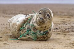 Free Tragic Seal Caught In Net Royalty Free Stock Photos - 185736978