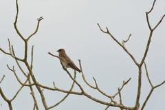 Trago Áspero-con alas septentrional, visto de lado Fotos de archivo libres de regalías