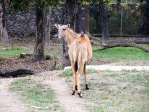 Tragocamelus Boselaphus Nilgai, также известное как nilgau или голубой бык Животное живой природы стоковая фотография rf