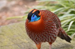 Tragopan Bird with a Blue Head in the Wild. Tragopan bird with a bright blue head in the wild Stock Image