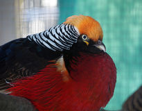 Tragopan satyre bird colorful portrait. The Tragopan satyre bird colorful portrait Royalty Free Stock Image