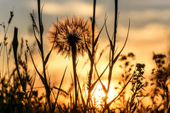 Tragopogon big white fluffy close-up sunset Stock Photo